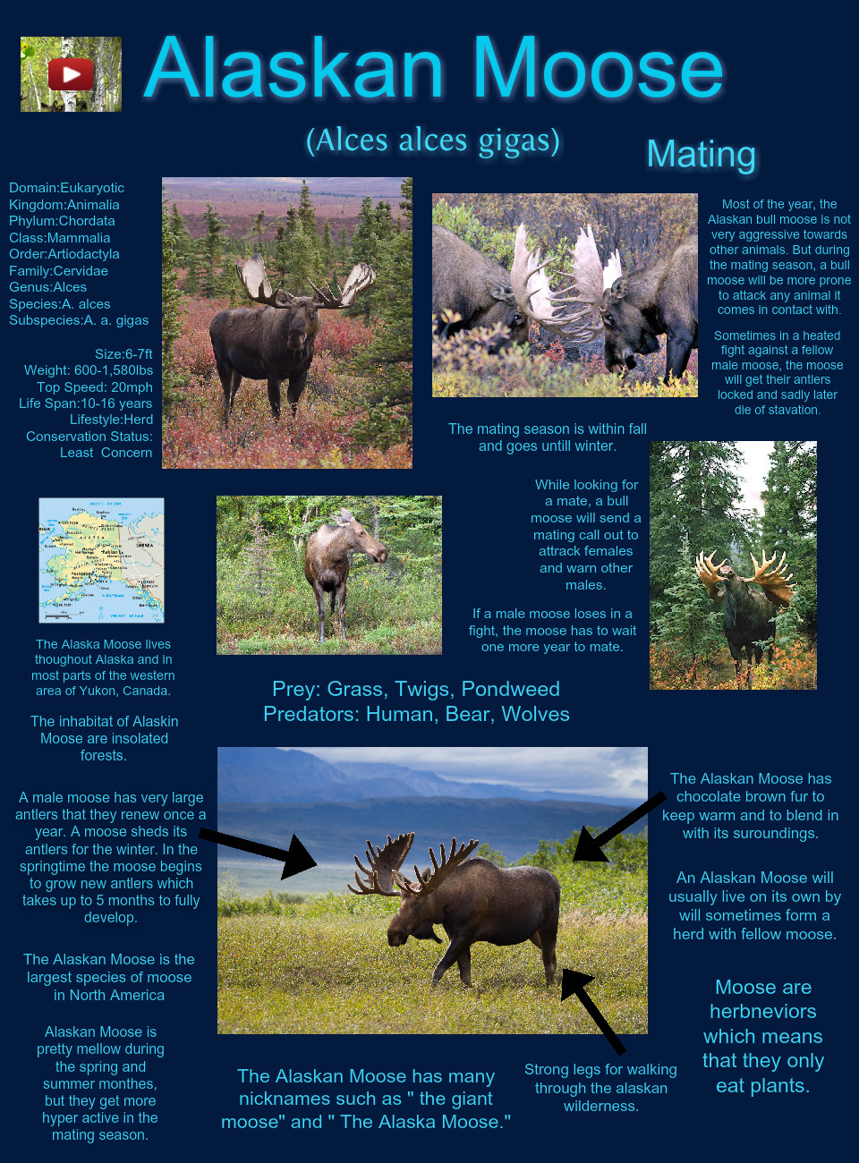 Alaskan Moose Size : alaskan, moose, Alaskan, Moose:, Alaskan,, Moose,, Plants, Glogster, Interactive, Multimedia, Posters