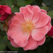 Oso Easy174 Pink Cupcake Landscape Rose Rosa x Proven