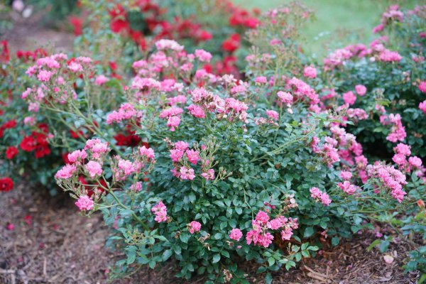 Oso Easy174 Double Pink Landscape Rose Rosa x Proven
