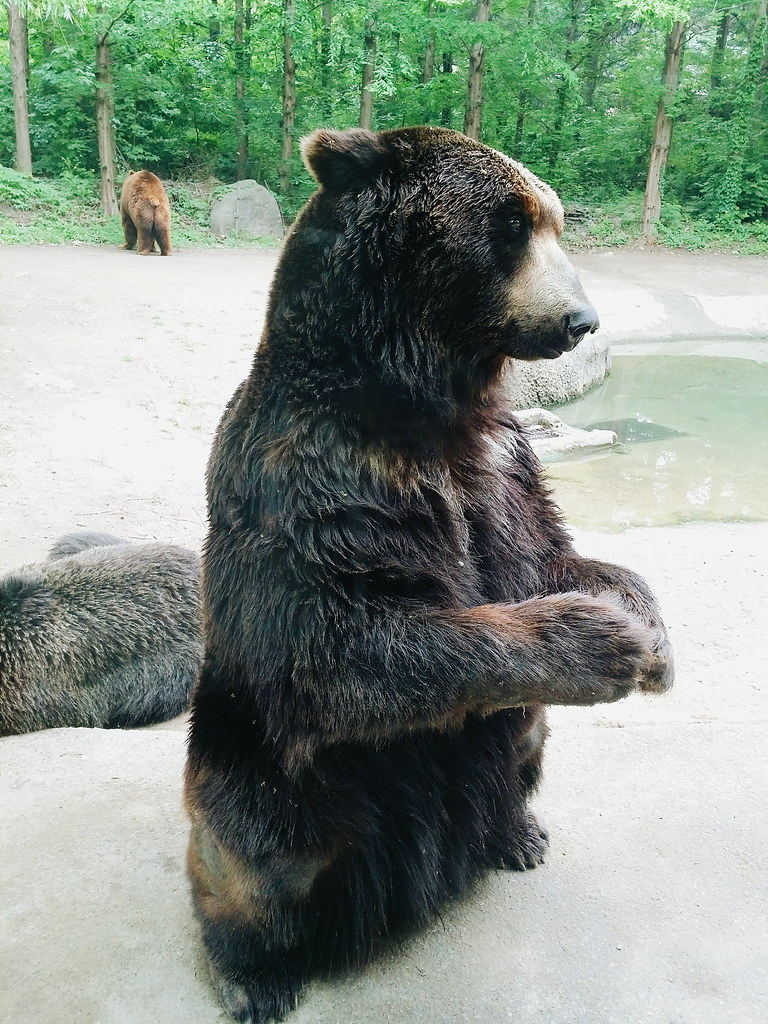 A bear standing up in Everland Zootopia