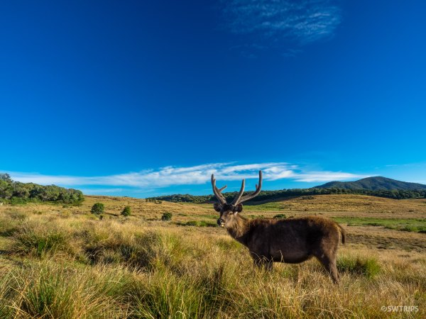 Wild Antelope - Horton Plains, Sri Lanka.jpg