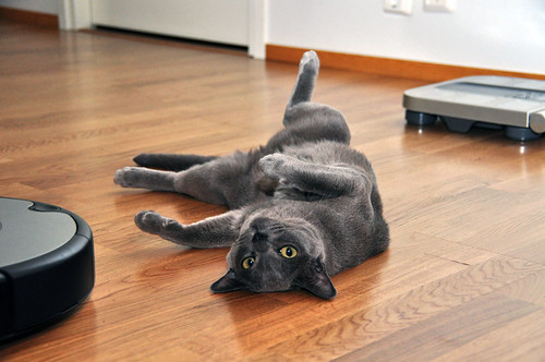 Burmese cats are beautiful, playful and affectionate! Keep reading to learn more about this cat breed's looks, history, and personality.