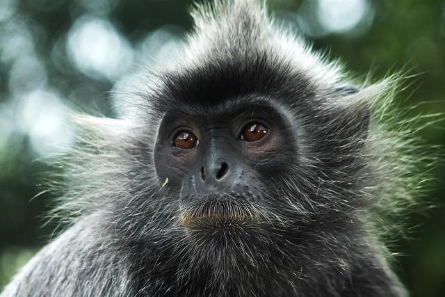 Silvery Lutung (Silvered Leaf Monkey)