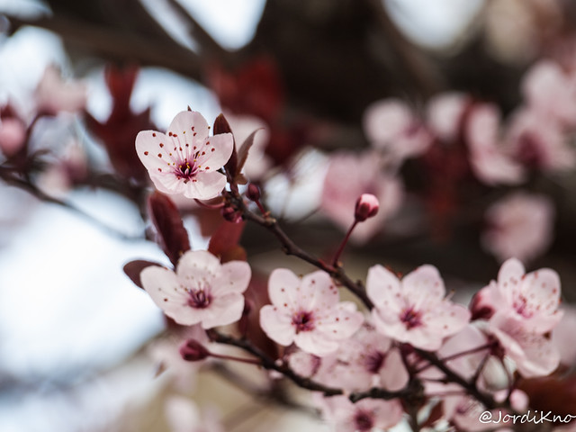 Flores de almendros