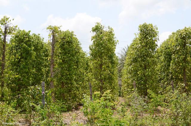 Người dân Phú Quốc trồng tiêu khá nhiều