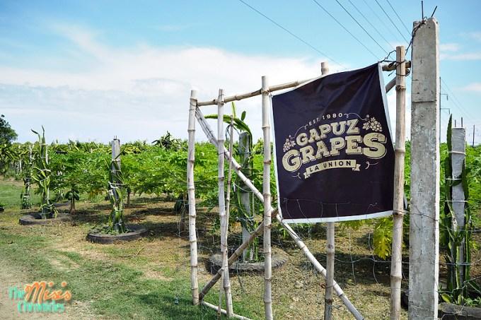 gapuz grapes farm