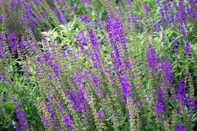 longwood-gardens-june-2016-lavender