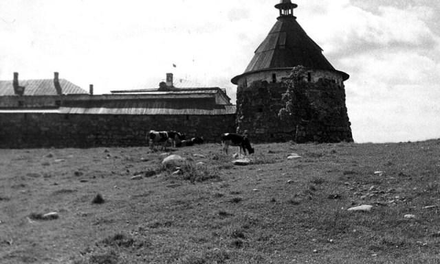Соловки башня и коровы