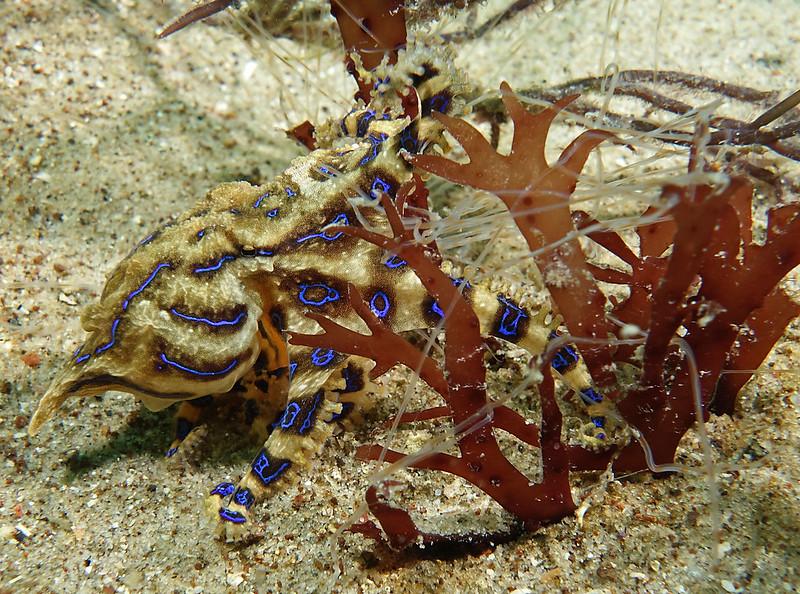 Blue-lined octopus - Hapalochlaena fasciata #marineexplorer