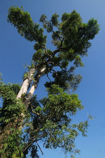 Dita Tree – Philippine Centennial Tree