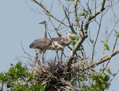 Heron Rookery at Lake Connestee-008