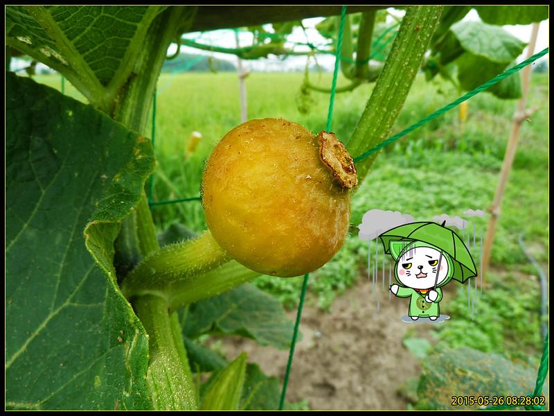 栗子南瓜種植記錄(2015.06.01記錄完結) @ shoonz的部落格 :: 痞客邦