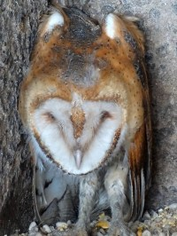 barn owl baby