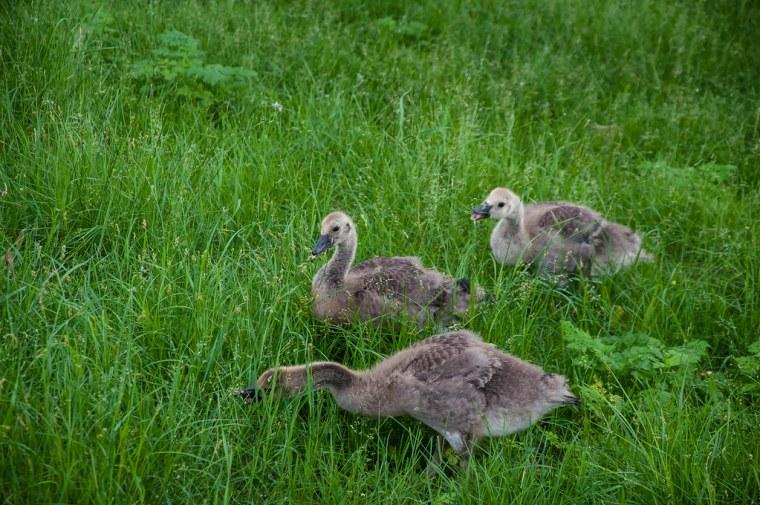 Pioneers Park - Baby Geese