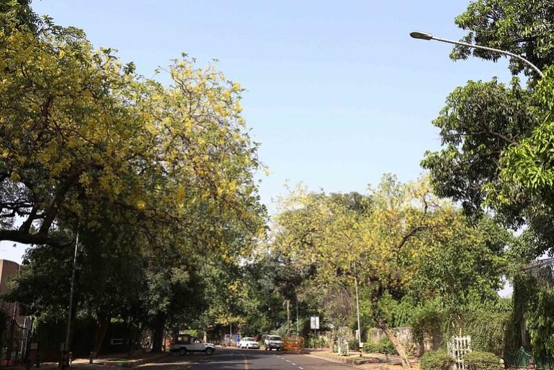 City Season - The Sulky Amaltas Trees, Hailey Road