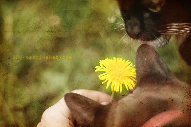 Löwenzahn-mit-Katzen