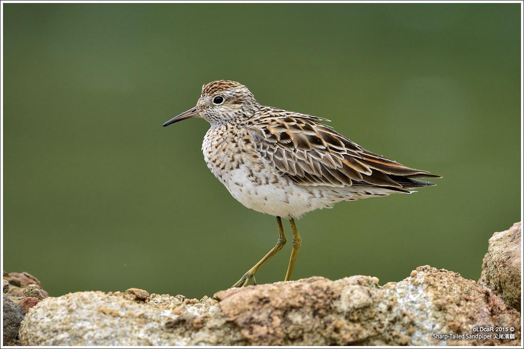 Sharp-Tailed Sandpiper 尖尾濱鷸 - Shorebirds 涉禽 - HKBWS Forum 香港觀鳥會討論區 - Powered by Discuz!