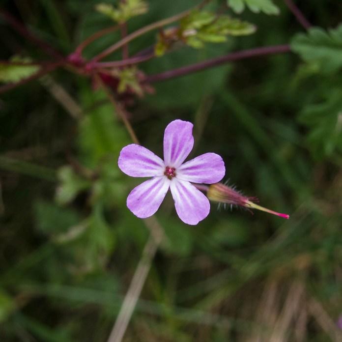 Irish roadside flowers