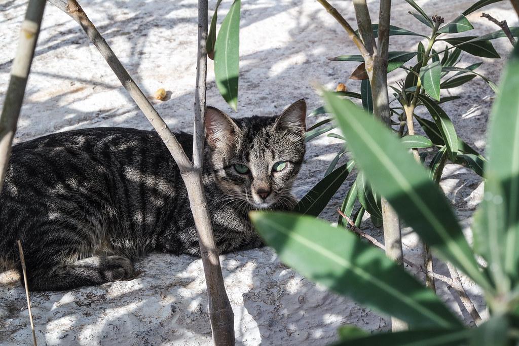 Gatti di Creta