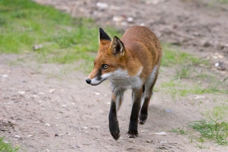 Fox keeping a close eye out for a Border Collie