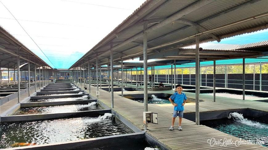 Koi fish Farm