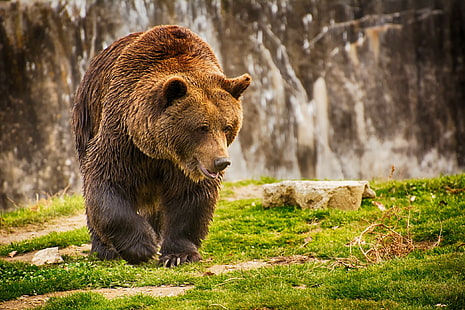hd wallpaper brown bear