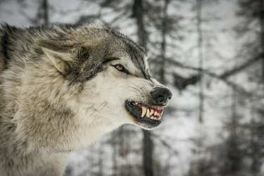 HD wallpaper: Anger Wolf face gray and white wolf predator profile fangs Wallpaper Flare