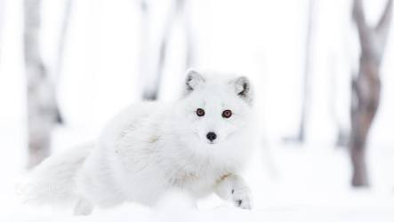HD wallpaper: animals arctic fox snow Cecilie Sønsteby animal themes Wallpaper Flare