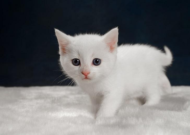 Hd Wallpaper Kittens Baby Animals White Cat Domestic Pets Mammal Domestic Animals Wallpaper Flare