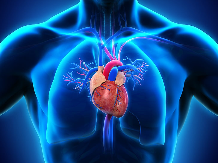 Hd Wallpaper Human Heart Illustration Medicine Lungs Blue Studio Shot Wallpaper Flare