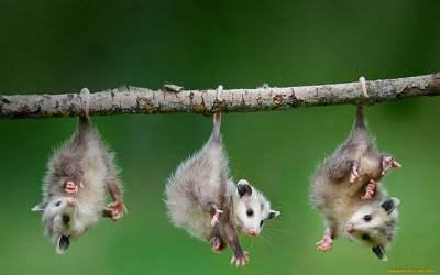 Opossum 1080P, 2K, 4K, 5K HD wallpapers free download | Wallpaper ...