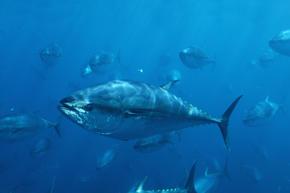 Pacific bluefin tunas, Mexico
