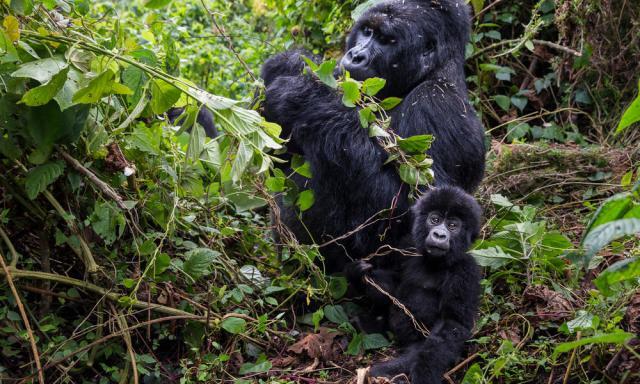Where do gorillas live