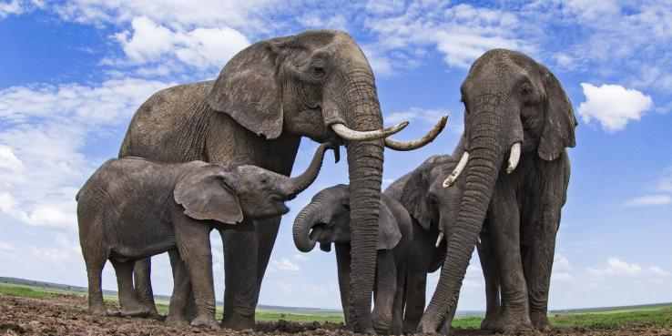 What's the difference between Asian and African elephants? And 8 ...