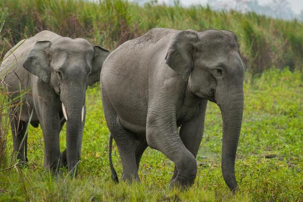 Elephant | Species | WWF