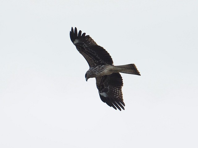Japanese black kite (トビ)