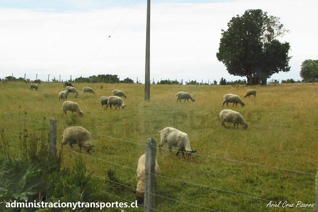 Ovejas y Corderos en Isla Caucahue