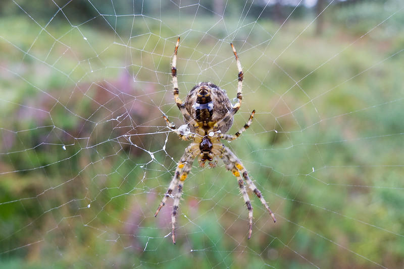One of thousands of Garden or Cross Spiders