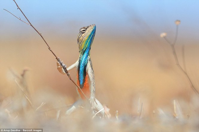 3A3A592200000578-3929134-The_colourful_reptile_looks_like_a_warrior_in_this_image_by_Anup-a-107_1478910999773