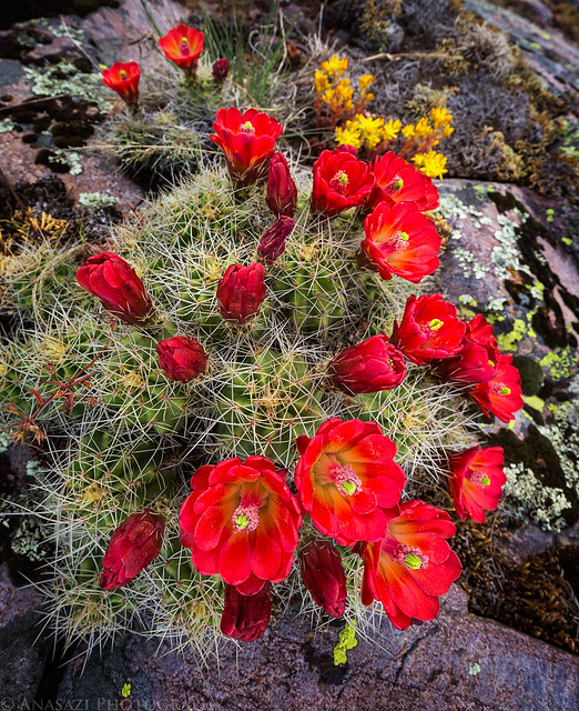 Claret Cups in the Mountains
