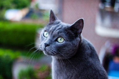 The Russian Blue cat breed is known for its luxurious gray coat and emerald green eyes. Keep reading to learn about their look, history, and personalities!