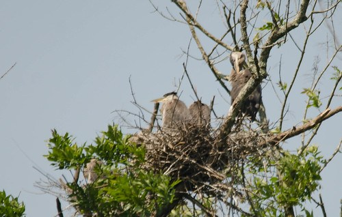 Lake Connestee Heron Rookery-001
