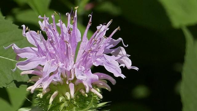 Monarda fistulosa with Pollinators
