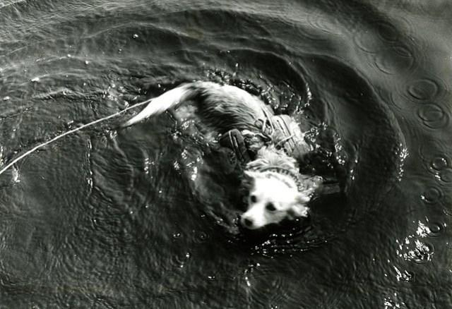 Кузова собака в жилете плавает