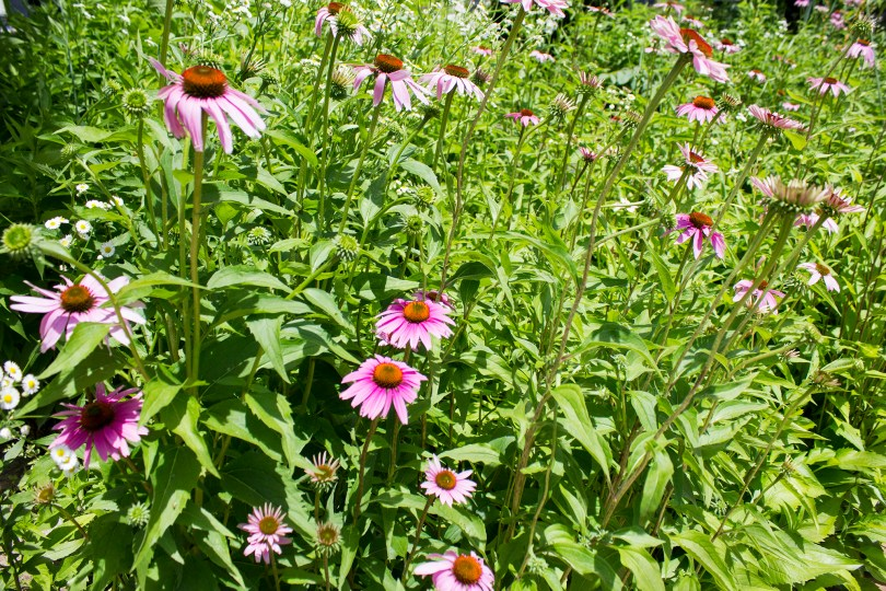 unionville-pink-wildflowers