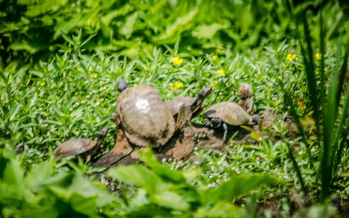 Lake Connestee Turtles