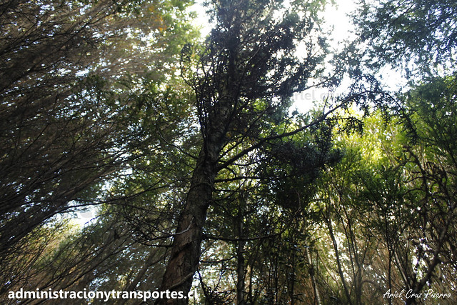 Ciprés de las Guaitecas (Pilgerodendron uviferum) | Parque Nacional Chiloé