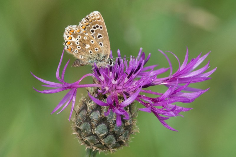 Female Adonis Blue on a Greater Knapweed flower.