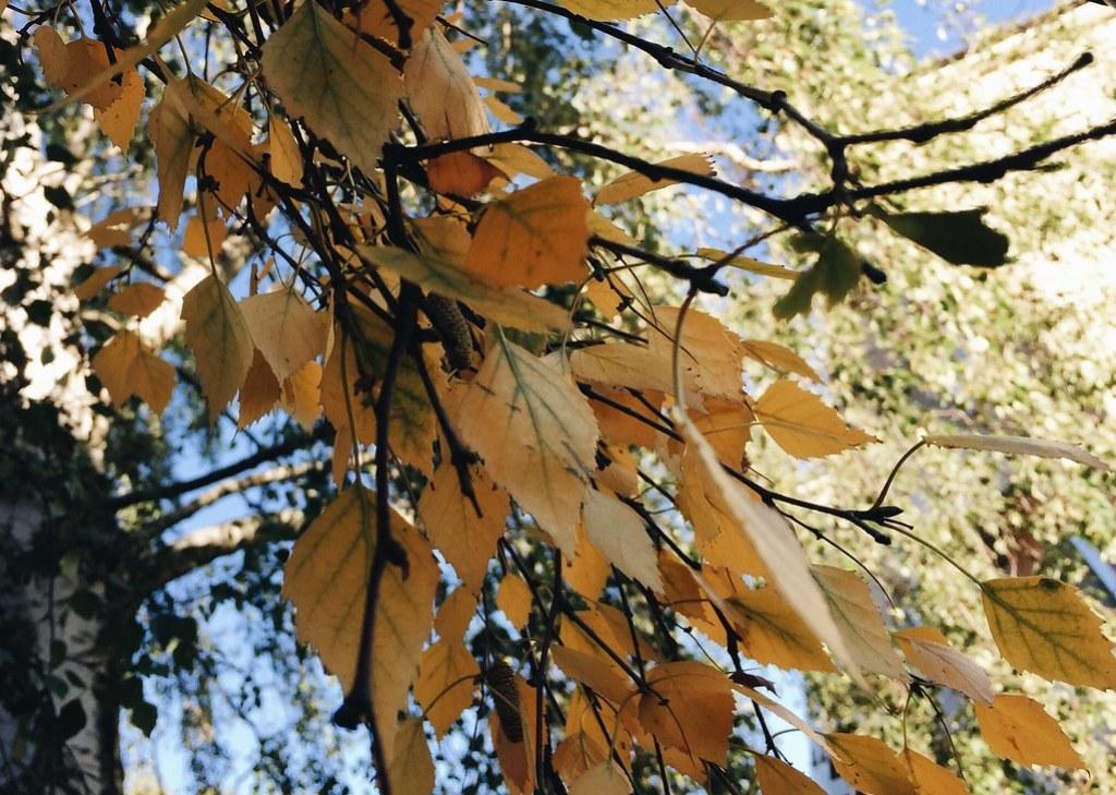 autumn yellow tree leaf