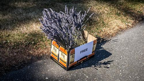 Free Lavender